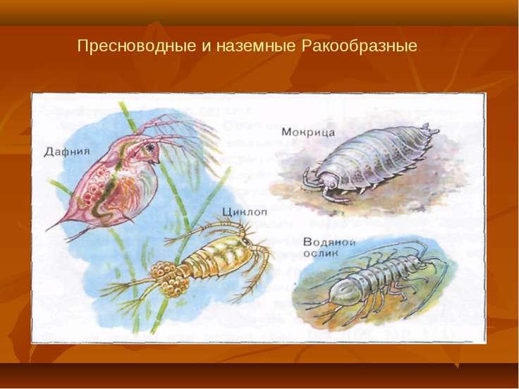 Пресноводные и наземные Ракообразные.