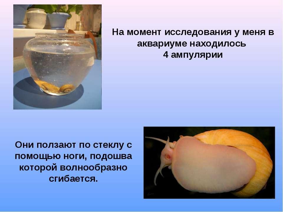 На момент исследования у меня в аквариуме находилось 4 ампулярии Они ползают ...