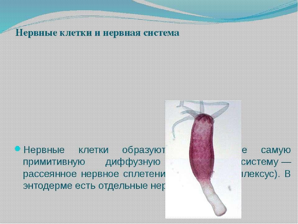 Нервные клетки и нервная система Нервные клетки образуют в эктодерме самую пр...