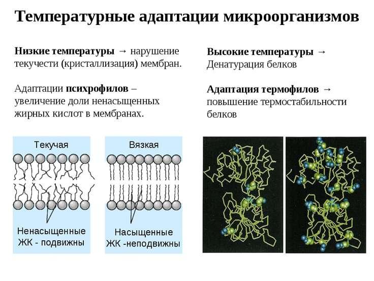 Температурные адаптации микроорганизмов Низкие температуры → нарушение текуче...