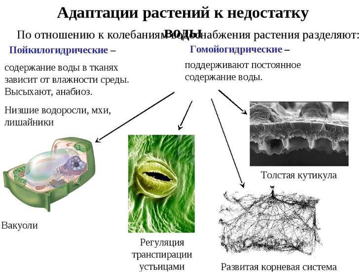 Адаптации растений к недостатку воды Пойкилогидрические – Гомойогидрические –...