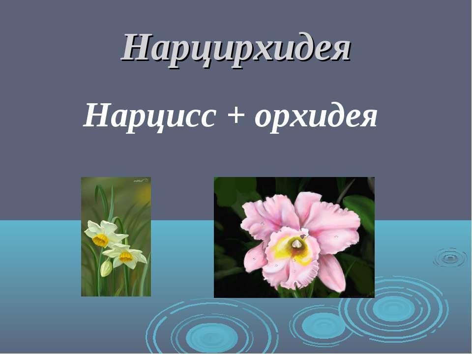Нарцирхидея Нарцисс + орхидея