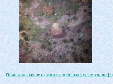 Пояс красных литотамиев, зелёных ульв и кладофор с поселившимися на них живот...