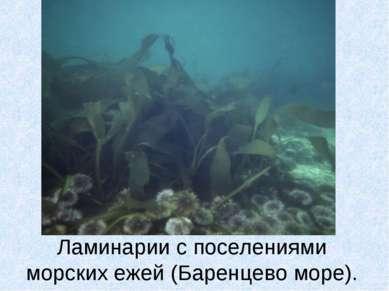 Ламинарии с поселениями морских ежей (Баренцево море).
