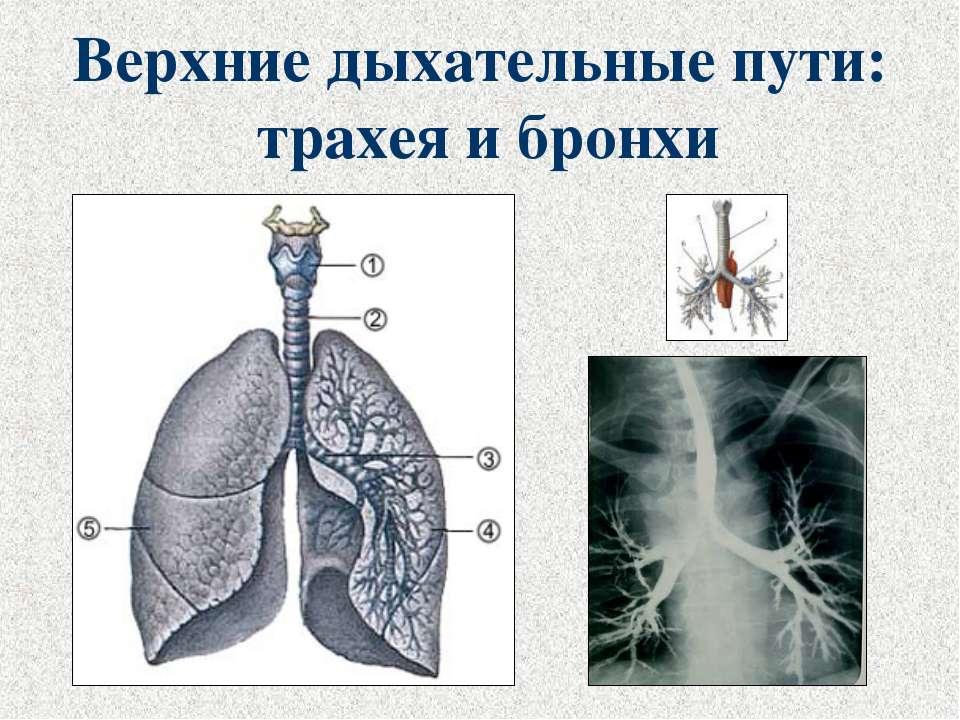 Верхние дыхательные пути: трахея и бронхи