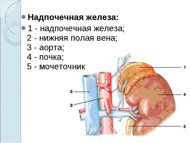 Надпочечная железа: 1- надпочечная железа; 2- нижняя полая вена; 3- аорт...