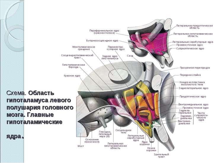 Схема.Область гипоталамуса левого полушария головного мозга. Главные гипотал...