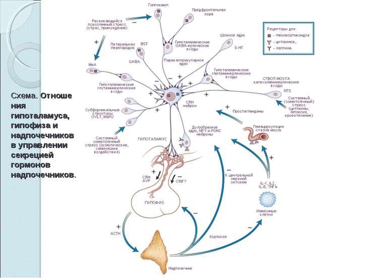 Схема.Отношения гипоталамуса, гипофиза и надпочечников в управлении секрецие...