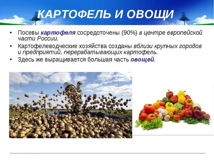 Посевы картофеля сосредоточены (90%) в центре европейской части России. Карто...