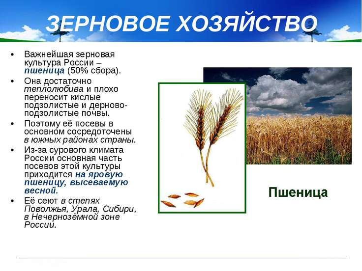Важнейшая зерновая культура России – пшеница (50% сбора). Она достаточно тепл...