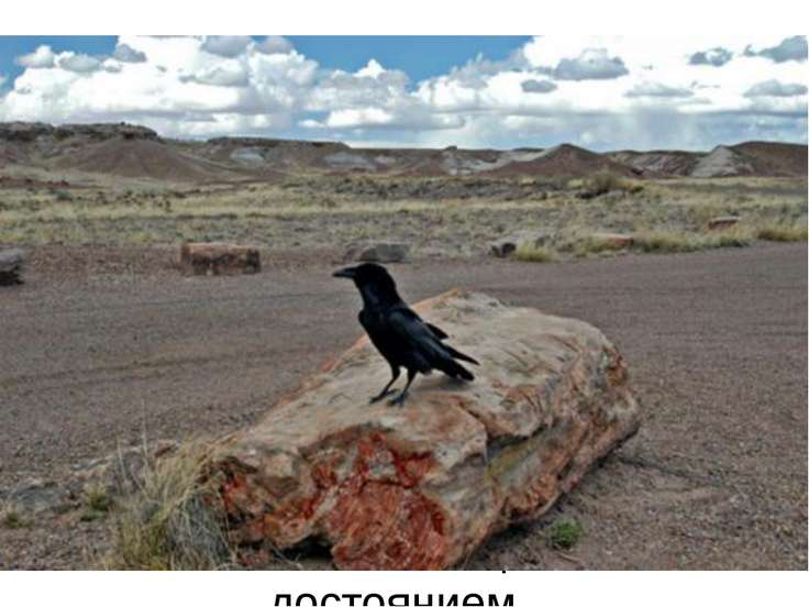 В конце XIX в. множество каменных деревьев было вывезено из Аризоны и использ...