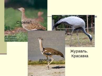 Журавль. Красавка Стрепет дрофа