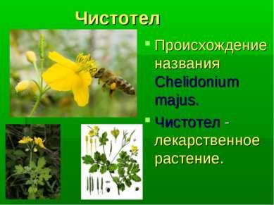 Чистотел Происхождение названия Chelidonium majus. Чистотел - лекарственное р...
