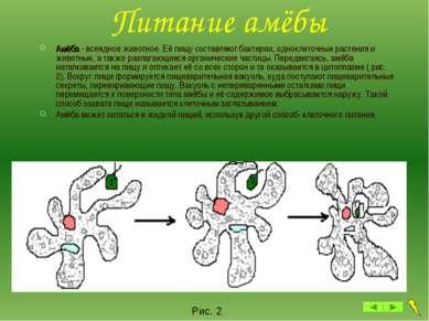 Питание амёбы Амёба - всеядное животное. Её пищу составляют бактерии, однокле...