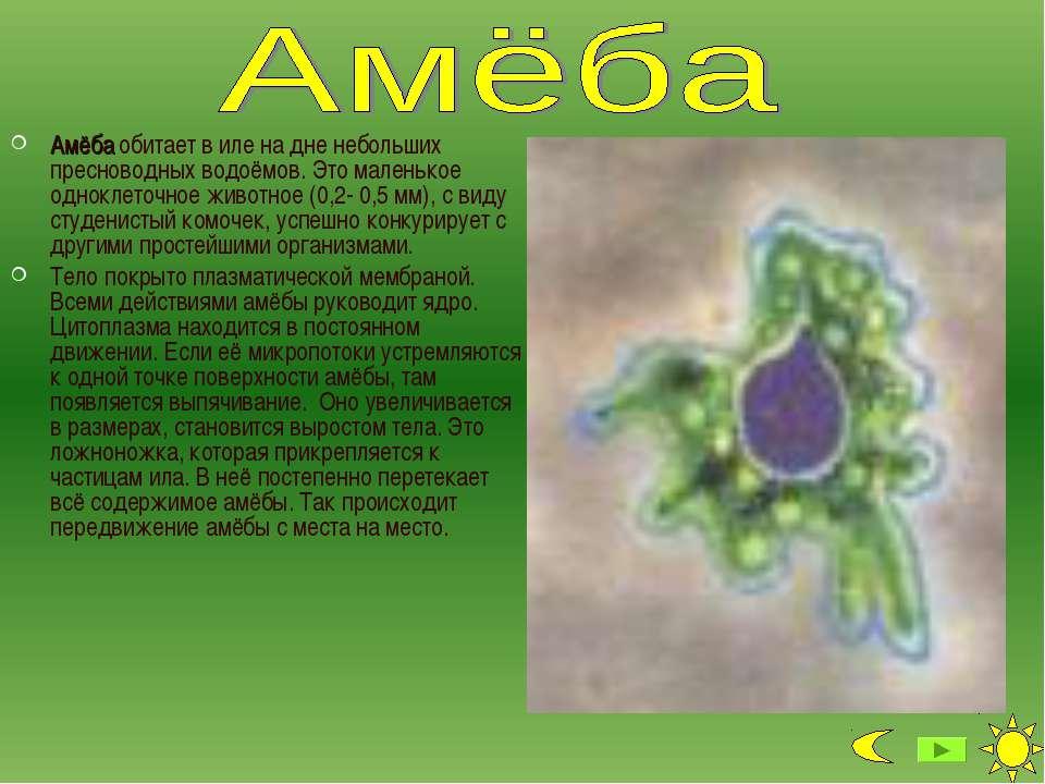 Амёба обитает в иле на дне небольших пресноводных водоёмов. Это маленькое одн...