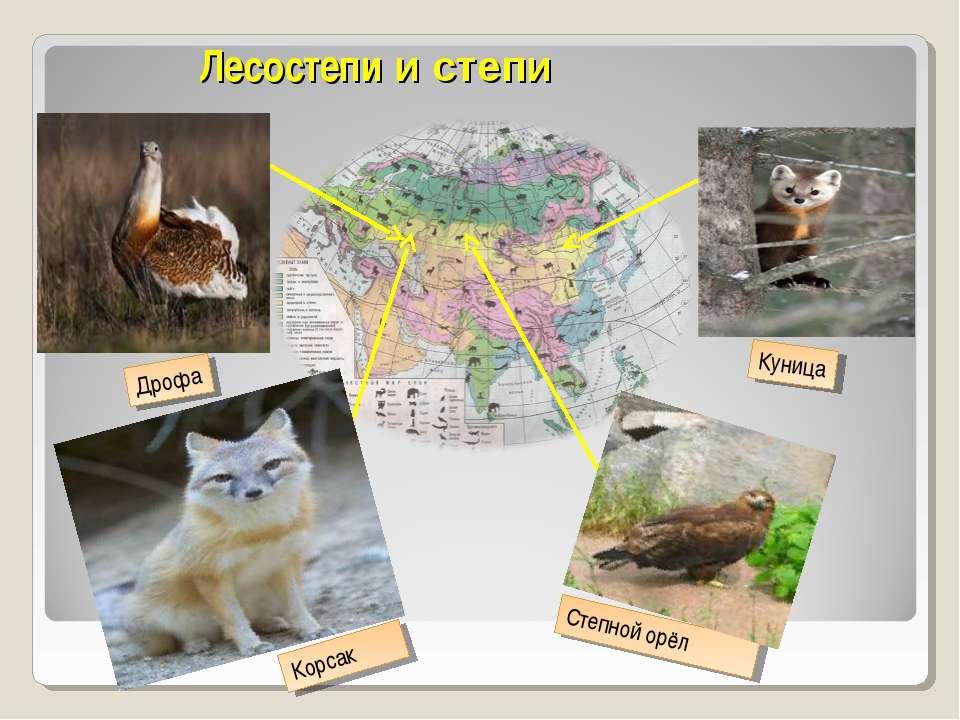 Лесостепи и степи Дрофа Куница Корсак Степной орёл