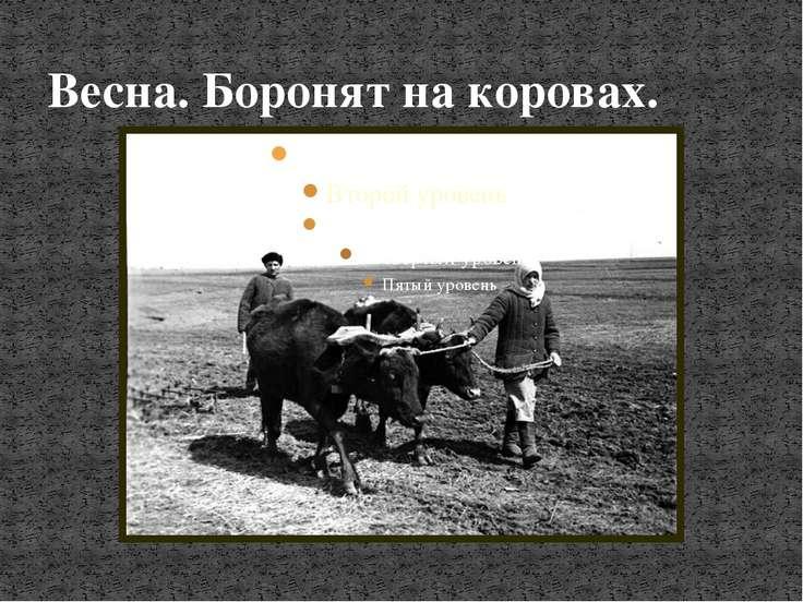 Весна. Боронят на коровах.