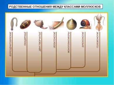 РОДСТВЕННЫЕ ОТНОШЕНИЯ МЕЖДУ КЛАССАМИ МОЛЛЮСКОВ