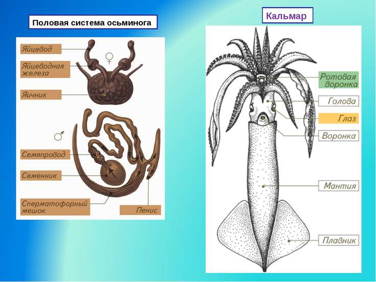 Половая система осьминога Кальмар