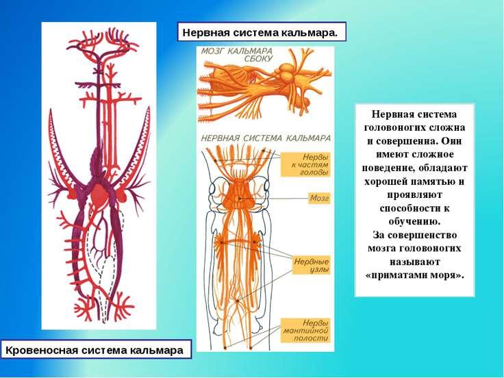Нервная система кальмара. Нервная система головоногих сложна и совершенна. Он...