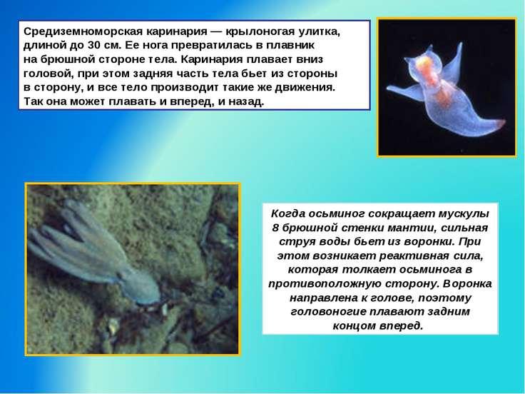 Средиземноморская каринария— крылоногая улитка, длиной до 30см. Ее нога пре...
