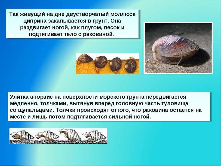 Так живущий на дне двустворчатый моллюск циприна закапывается вгрунт. Она ра...