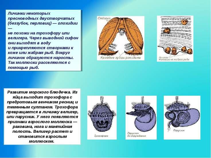 Личинки некоторых пресноводных двустворчатых (беззубок, перловиц) — глохидии ...