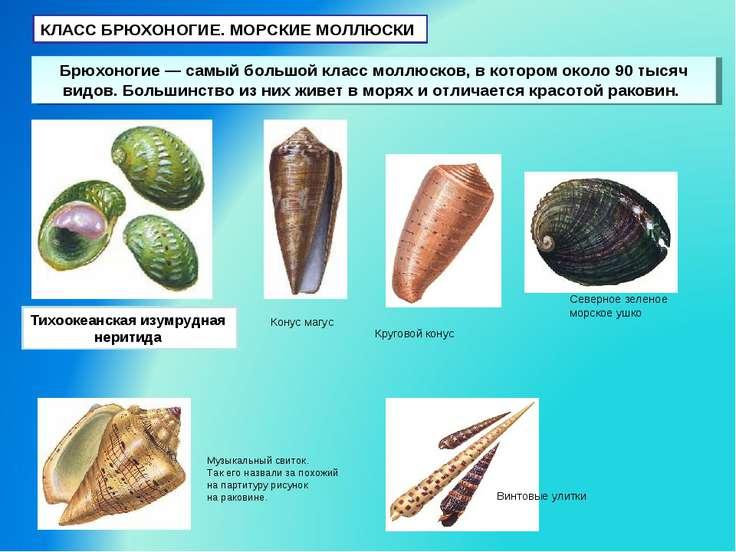 КЛАСС БРЮХОНОГИЕ. МОРСКИЕ МОЛЛЮСКИ Брюхоногие — самый большой класс моллюсков...