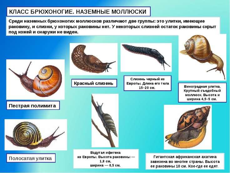 КЛАСС БРЮХОНОГИЕ. НАЗЕМНЫЕ МОЛЛЮСКИ Среди наземных брюхоногих моллюсков разли...