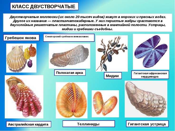 КЛАСС ДВУСТВОРЧАТЫЕ Двустворчатые моллюски (их около 20 тысяч видов) живут в ...