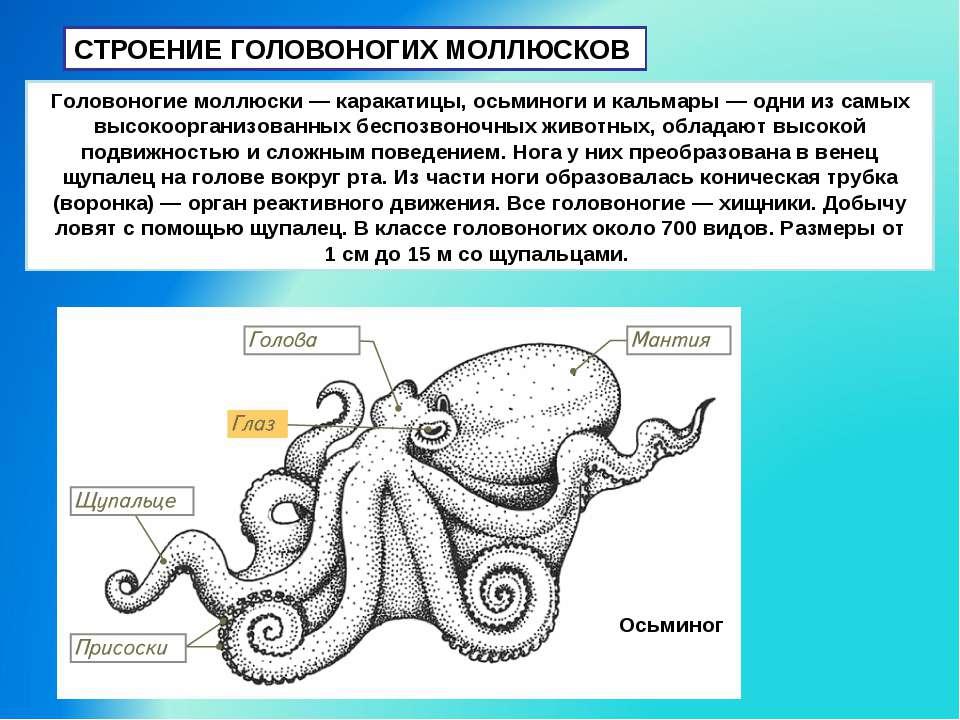 СТРОЕНИЕ ГОЛОВОНОГИХ МОЛЛЮСКОВ Головоногие моллюски — каракатицы, осьминоги и...