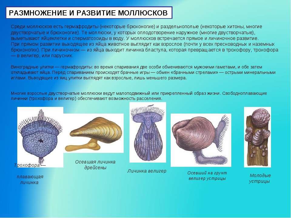 РАЗМНОЖЕНИЕ И РАЗВИТИЕ МОЛЛЮСКОВ Среди моллюсков есть гермафродиты (некоторые...