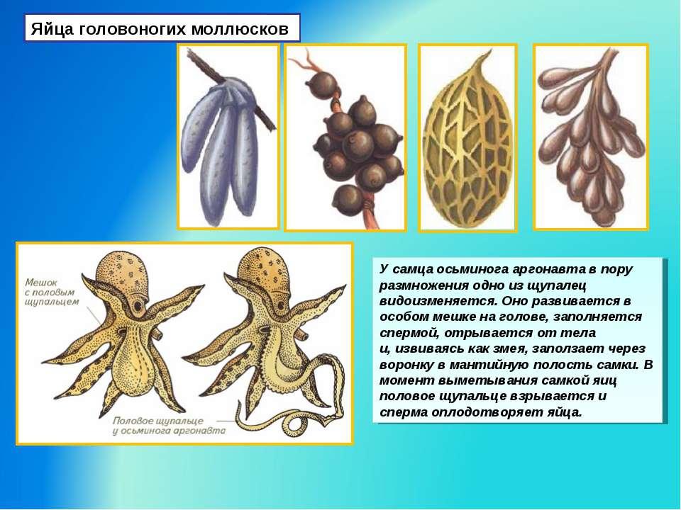 Яйца головоногих моллюсков У самца осьминога аргонавта в пору размножения одн...