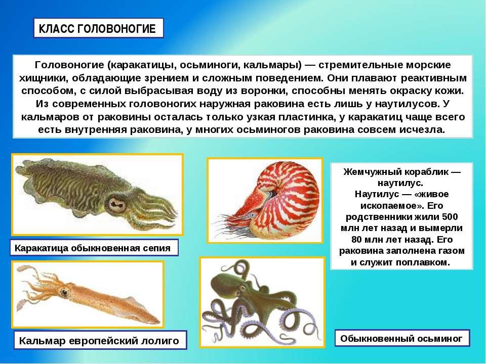 КЛАСС ГОЛОВОНОГИЕ Головоногие (каракатицы, осьминоги, кальмары) — стремительн...