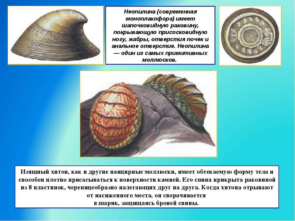 Неопилина (современная моноплакофора) имеет шапочковидную раковину, покрывающ...