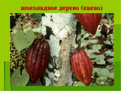 шоколадное дерево (какао)