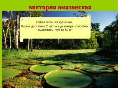 виктория амазонская Листья достигают 2 метра в диаметре, способны выдержать г...