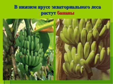 В нижнем ярусе экваториального леса растут бананы