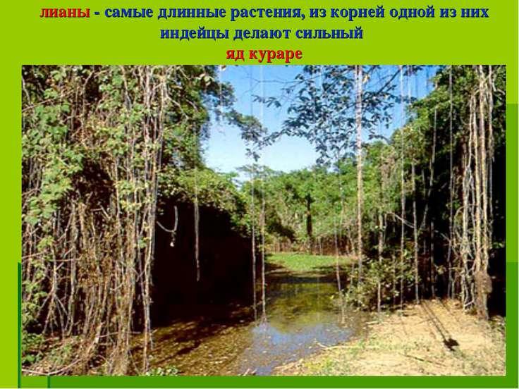 лианы - самые длинные растения, из корней одной из них индейцы делают сильный...