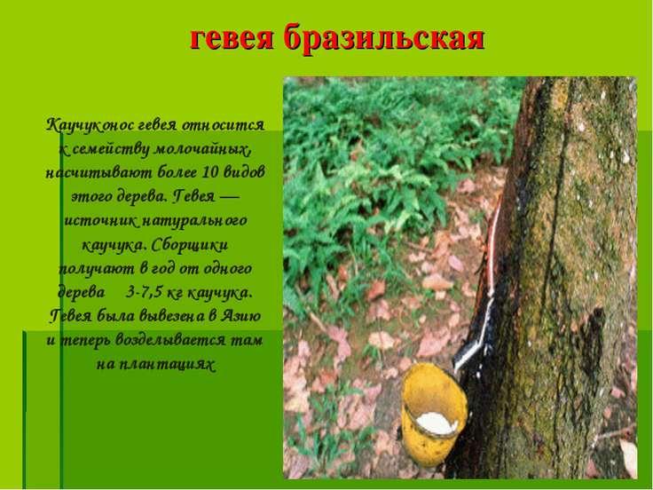 гевея бразильская Каучуконос гевея относится к семейству молочайных, насчитыв...