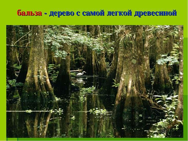 бальза - дерево с самой легкой древесиной