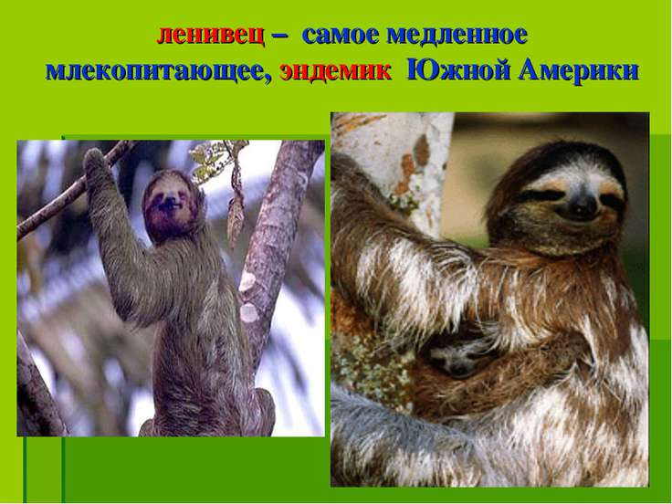 ленивец – самое медленное млекопитающее, эндемик Южной Америки