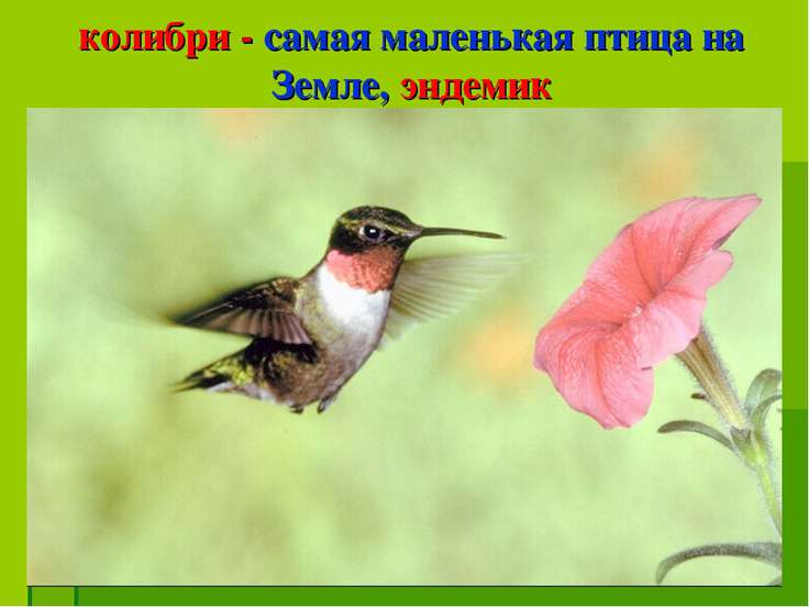 колибри - самая маленькая птица на Земле, эндемик