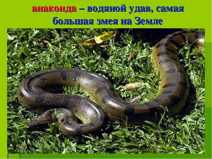 анаконда – водяной удав, самая большая змея на Земле