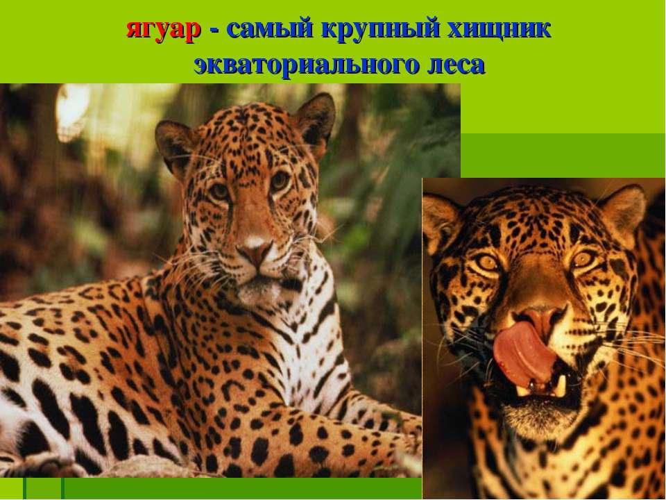 ягуар - самый крупный хищник экваториального леса