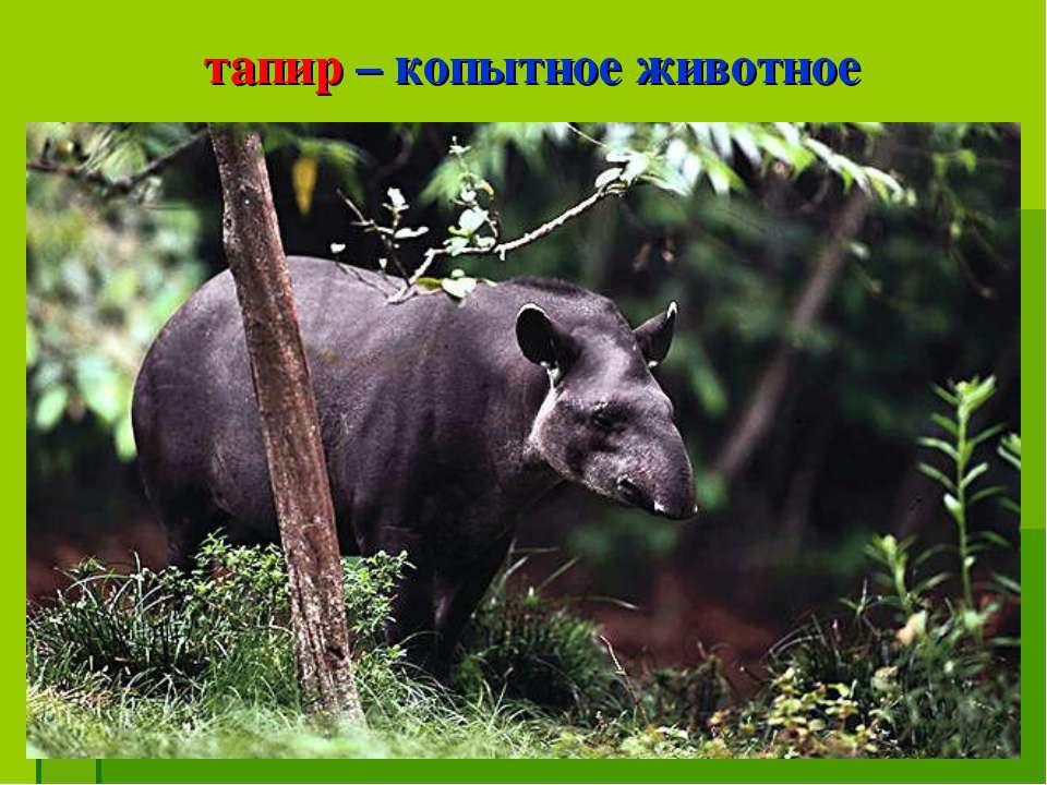тапир – копытное животное