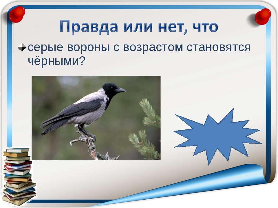 серые вороны с возрастом становятся чёрными? неправда