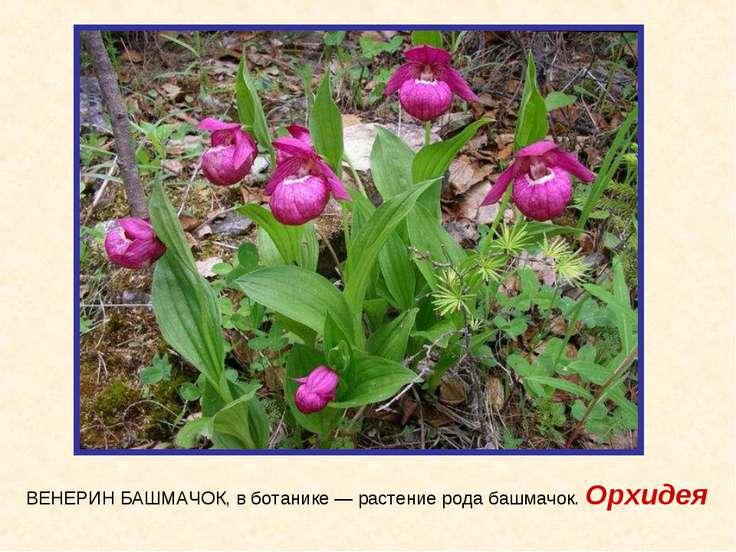 ВЕНЕРИН БАШМАЧОК, в ботанике — растение рода башмачок. Орхидея