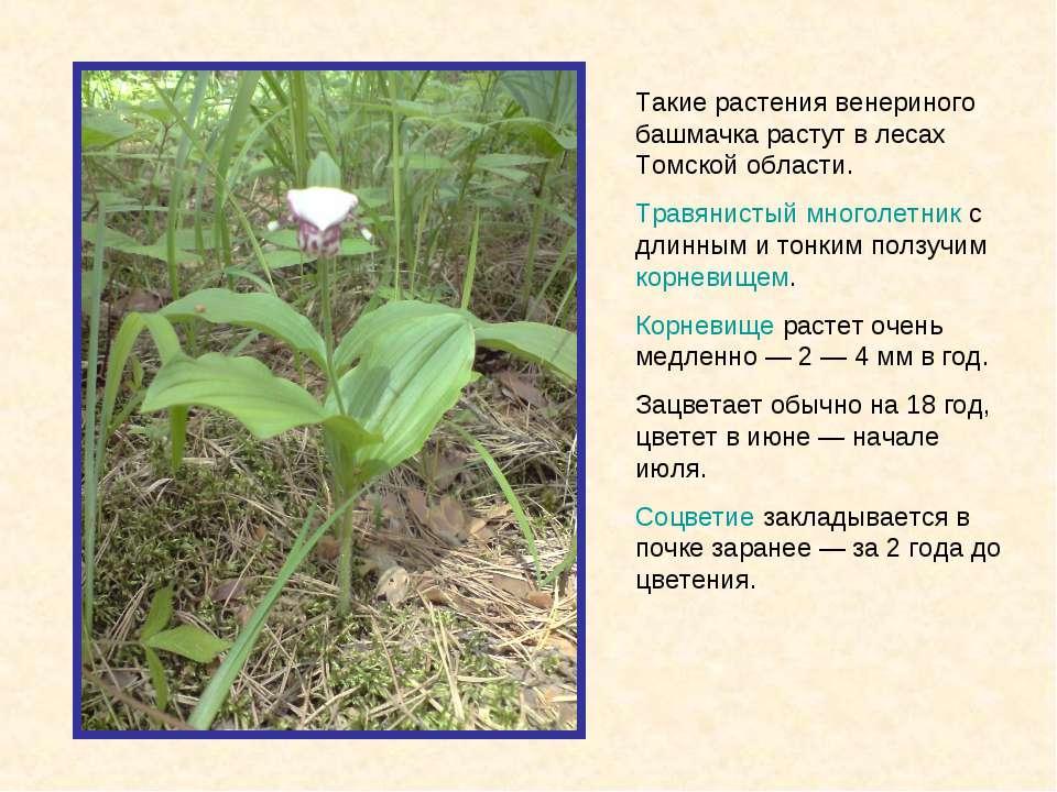 Такие растения венериного башмачка растут в лесах Томской области. Травянисты...
