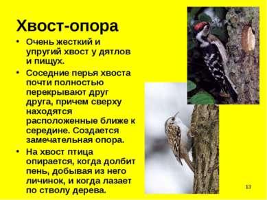 * Хвост-опора Очень жесткий и упругий хвост у дятлов и пищух. Соседние перья ...